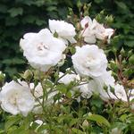 Rambling Rose Sanders White