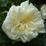 Rambling Rose White Excelsa